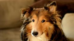 Collie Dog Desktop Wallpaper HD 49305