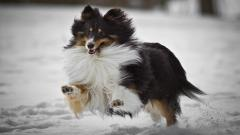 Collie Dog Running Wallpaper 49304