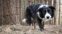 Collie Dog Wallpaper Background 49299