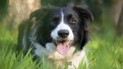 Collie Dog Wide Wallpaper 49301