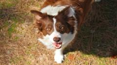 Collie Dog Widescreen Wallpaper 49309
