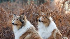 Collie Dogs Desktop Wallpaper HD 49312