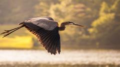 Crane Bird Flying Wallpaper 49360