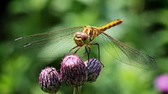 Dragonfly Insect Wallpaper 49545