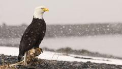 Eagle Desktop Wallpaper 50058