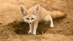 Fennec Fox Computer Wallpaper 50929