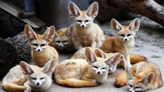 Fennec Fox Desktop Wallpaper 50926