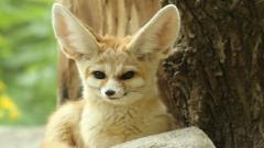 Fennec Fox Desktop Wallpaper Pictures 50927