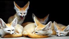 Fennec Fox Wallpaper 50930