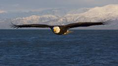 Flying Eagle Wallpaper 50059