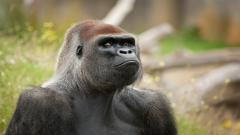 Gorilla Wallpaper 49123