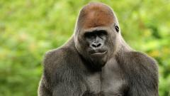 Gorilla Widescreen Wallpaper 49124