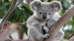Koala Desktop Wallpaper 50909