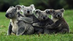 Koala Family Desktop Wallpaper 50905