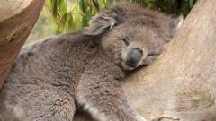 Koala Sleeping Wallpaper Pictures 50907