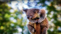 Koala Widescreen HD Wallpaper 50906