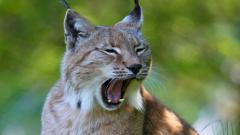 Lynx Animal Wallpaper 49573