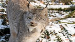 Lynx Animal Wallpaper Background 49574