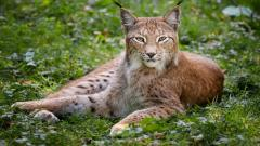 Lynx Animal Widescreen Wallpaper 49578