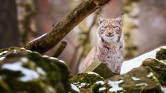 Lynx Desktop Wallpaper 49576