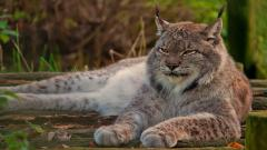 Lynx Resting Wallpaper Background 49577