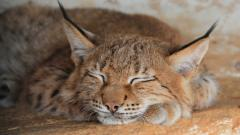 Lynx Sleeping Wallpaper Background 49571