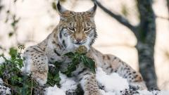 Lynx Wallpaper Background HD 49570