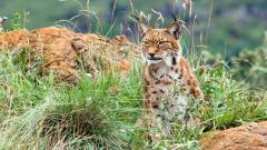 Lynx Wide Wallpaper 49572