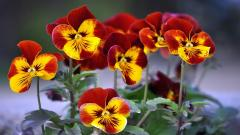 Nature Pansy Flowers Wallpaper 50006