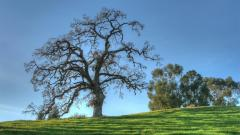 Oak Tree Desktop Wallpaper 49756