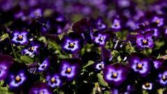 Pansy Flower Desktop Wallpaper HD 50010