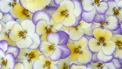 Pansy Flower Petals Wallpaper 50004