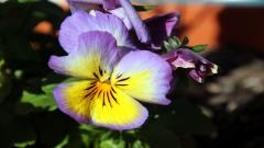 Pansy Flower Wallpaper Pictures 50009