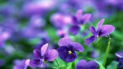 Pansy Flowers Computer Wallpaper 50005