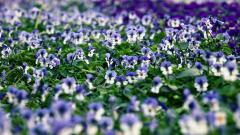 Pansy Flowers Wide Wallpaper 50002