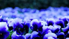 Pansy Flowers Widescreen Wallpaper 50007