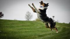 Playful Collie Wallpaper 49300