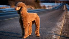 Poodle Dog Desktop Wallpaper HD 49985