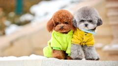 Poodle Dogs Wallpaper Pictures 49991
