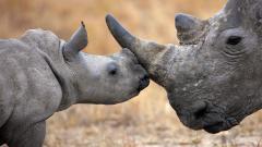 Rhinoceros Desktop Wallpaper 49314