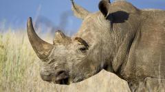 Rhinoceros Horn Widescreen Wallpaper 49319