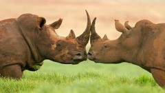 Rhinoceros Wallpaper Background 49317