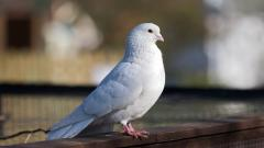 White Dove Bird Desktop Wallpaper 49626