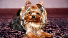 Yorkshire Terrier Computer Wallpaper 51046