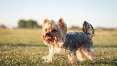 Yorkshire Terrier Dog Desktop Wallpaper 51043