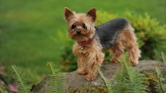 Yorkshire Terrier Dog Desktop Wallpaper 51048
