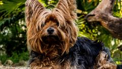 Yorkshire Terrier Dog Widescreen Wallpaper 51047