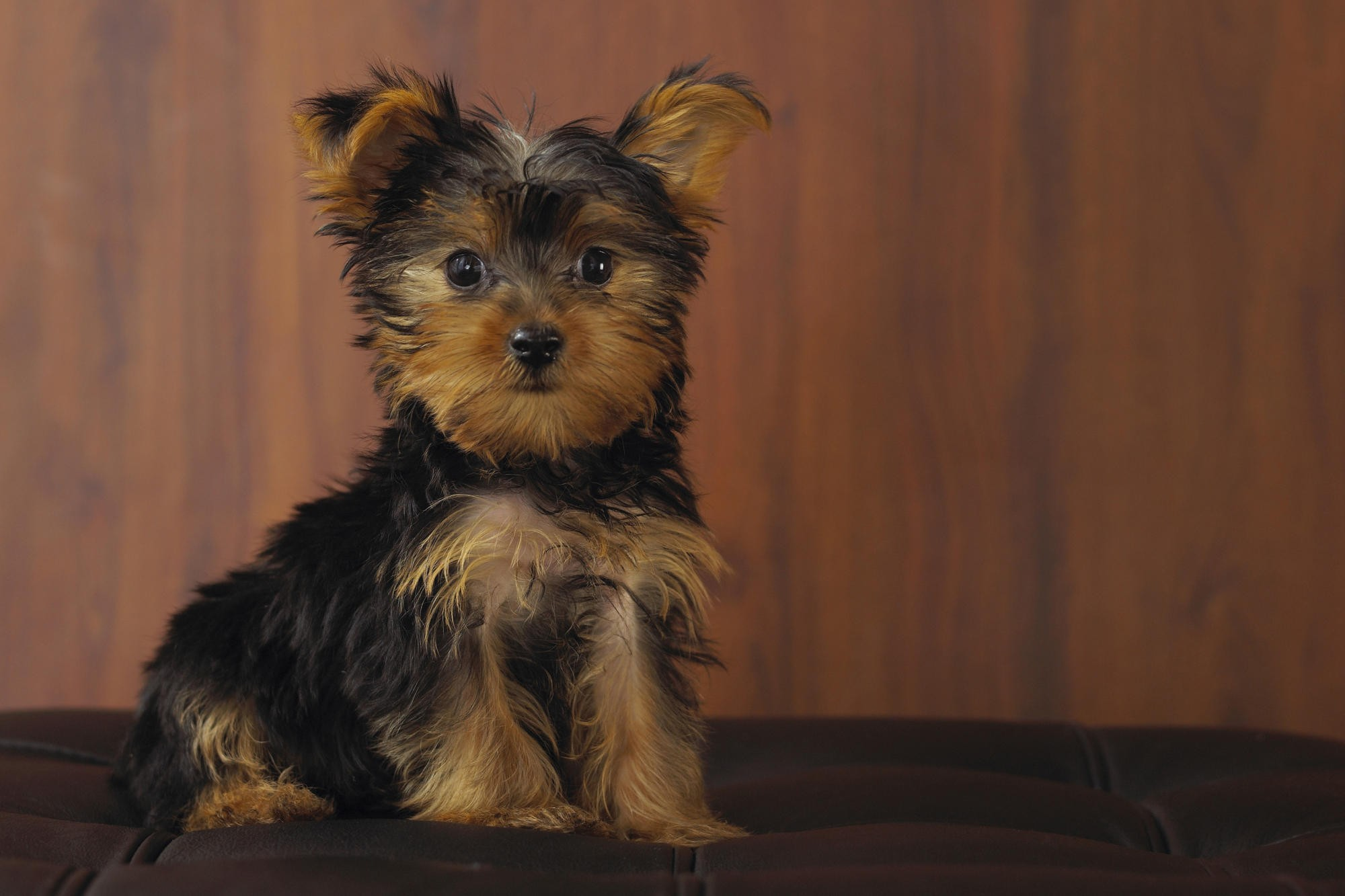 yorkshire terrier dog wallpaper 51044