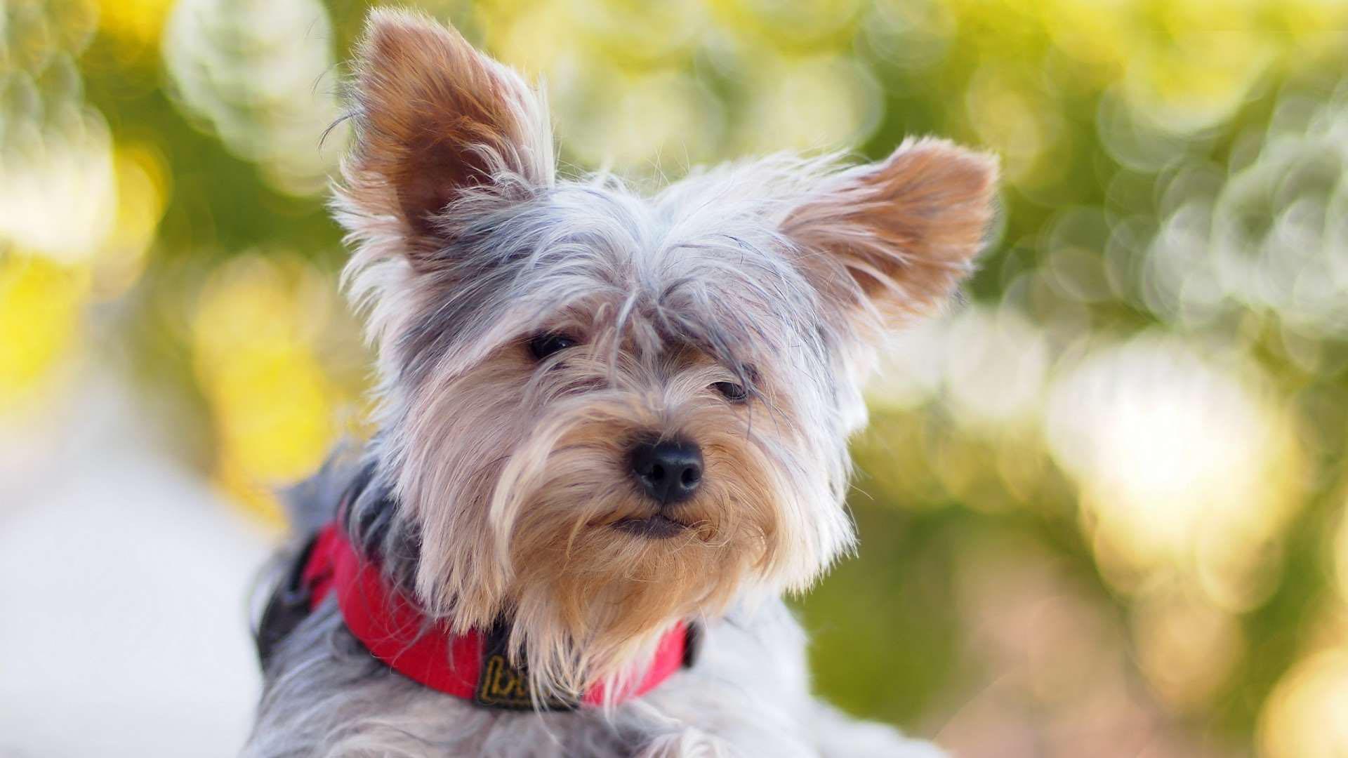 yorkshire terrier dog wallpaper hd 51050