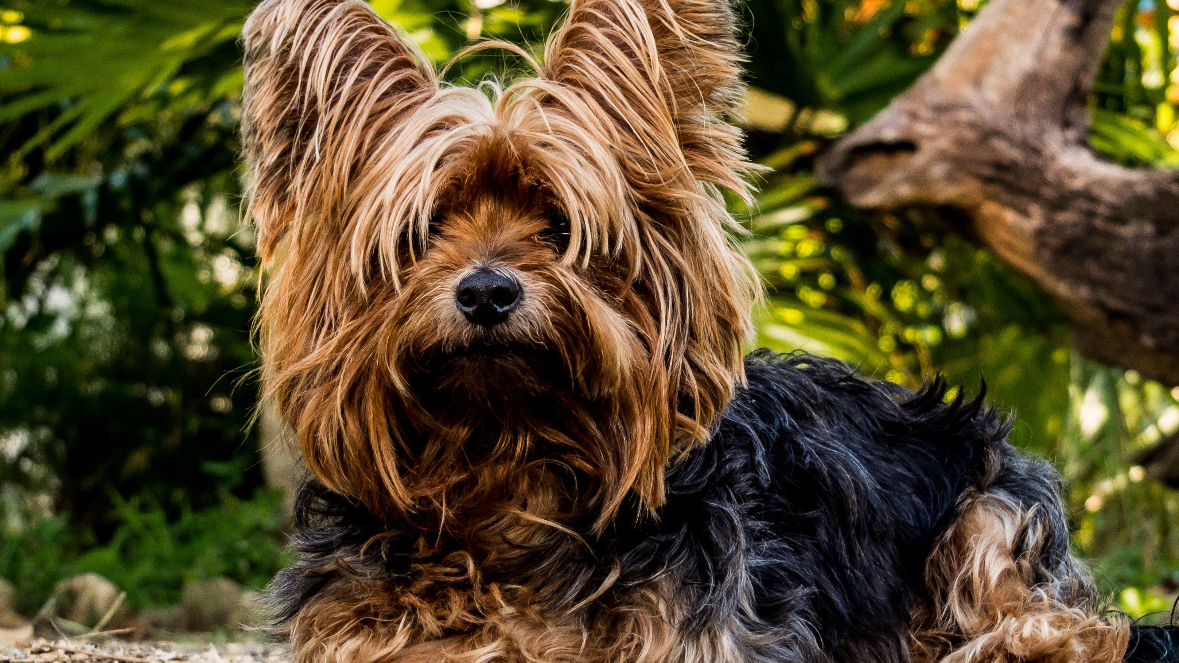yorkshire terrier dog widescreen wallpaper 51047